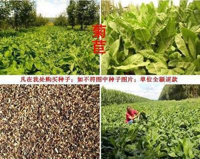 辽宁省沈阳市大东区菊苣种子