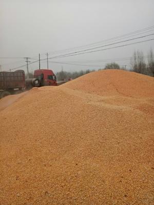 宁夏回族自治区固原市西吉县杂交玉米粒 杂质很少 水份17%-20%
