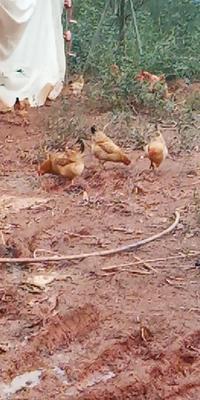安徽省宣城市宣州区土鸡 2-3斤 母