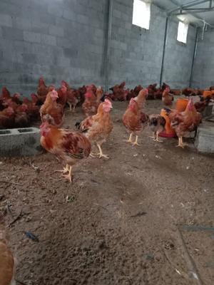 贵州省毕节市黔西县良凤肉鸡 7-8斤 公