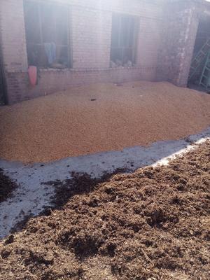 内蒙古自治区巴彦淖尔市乌拉特前旗玉米干粮 杂质很少 水份14%-16%