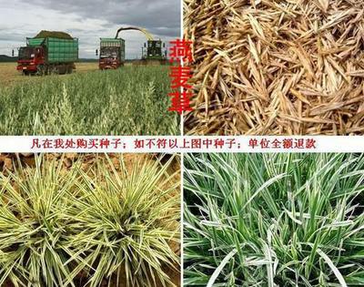 这是一张关于燕麦草种子 的产品图片