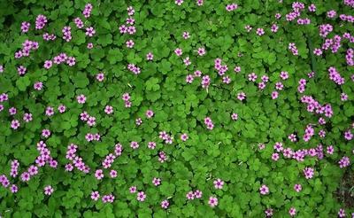 这是一张关于三叶草种子 的产品图片