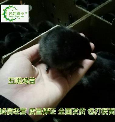广西壮族自治区防城港市东兴市三黄鸡苗