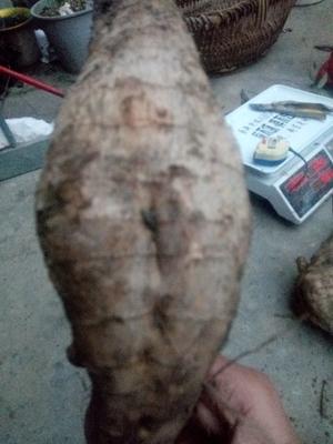 湖南省永州市宁远县人工种植葛根 2.5-3.0斤