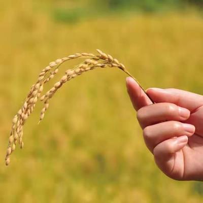 河北省唐山市曹妃甸区蟹田米 一等品 一季稻 粳米