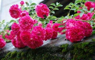 云南省昆明市官渡区矮蔷薇