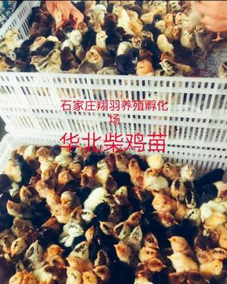 河北省石家庄市长安区柴鸡苗