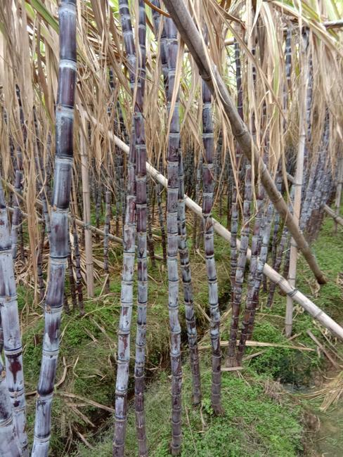 黑皮甘蔗 3 - 4cm 1.5 - 2m