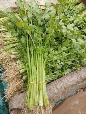 河南省开封市尉氏县香芹 40cm以下 0.15斤 大棚种植