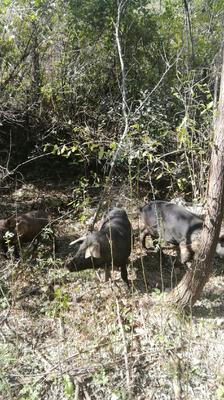 陕西省西安市长安区关中黑猪 160-200斤