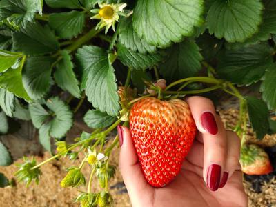 辽宁省丹东市振兴区丹东草莓 40克以上