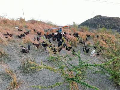 贵州省黔西南布依族苗族自治州普安县五黑鸡 2-3斤 统货