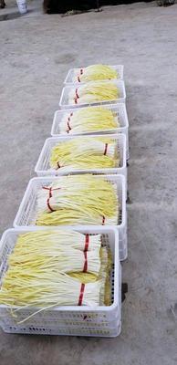 贵州省安顺市普定县白旗韭黄 三茬 30~40公分