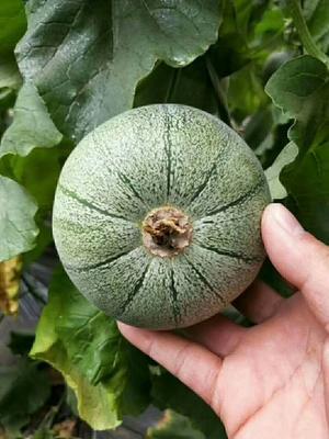 山东省临沂市蒙阴县绿宝石甜瓜 0.5斤以上