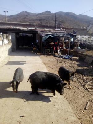 辽宁省锦州市北镇市藏香猪 80斤以上