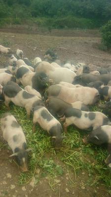 四川省广安市邻水县巴马香猪 120斤以上