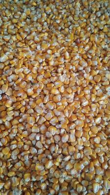 云南省昭通市昭阳区黄玉米糁 杂质很少 水份14%-16%