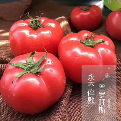 山东省烟台市海阳市普罗旺斯番茄 通货 弧二以上 硬粉