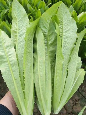 河北省邯郸市永年县美冠油麦菜 20~25cm