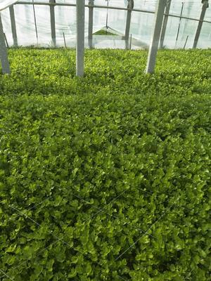 山东省聊城市阳谷县香芹 50~55cm 0.5斤以下 大棚种植