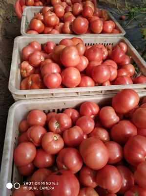 河南省驻马店市汝南县硬粉番茄 通货 弧二以上 硬粉