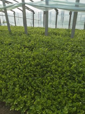 山东省聊城市阳谷县香芹 55~60cm 0.5斤以下 大棚种植