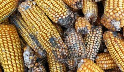 黑龙江省大兴安岭地区大兴安岭地区松岭区玉米湿粮 杂质很少 水份17%-20%