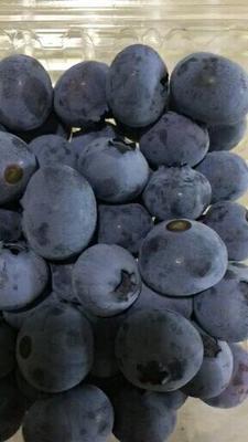 天津蓟县半高丛蓝莓 10 - 12mm以上 鲜果