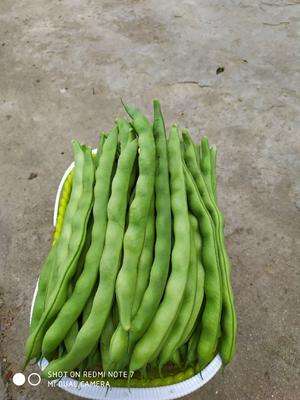 四川省攀枝花市仁和区绿龙芸豆 15cm以上