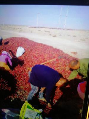 山东省青岛市胶州市甜椒 混装通货 甜辣 紫红