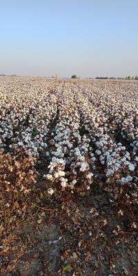 新疆维吾尔自治区博尔塔拉蒙古自治州博乐市新疆棉花