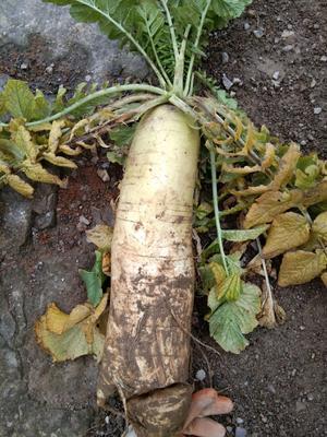 贵州省黔东南苗族侗族自治州岑巩县白萝卜 1.5~2斤