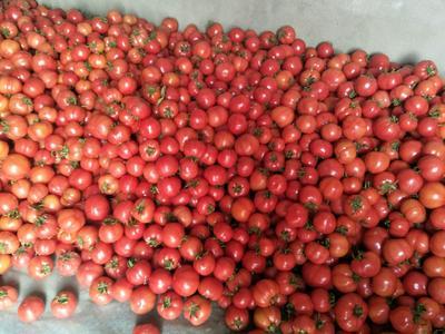 陕西省咸阳市泾阳县大红西红柿 通货 弧二以上 大红