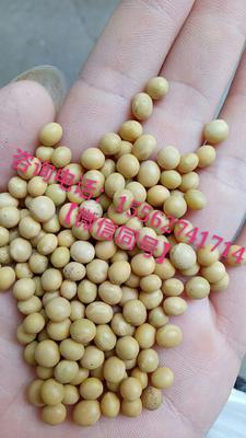 山东省菏泽市牡丹区黄豆种子 小金黄芽苗菜种子专用