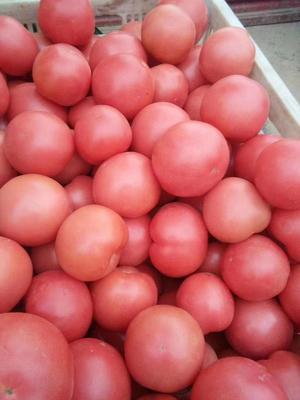 山东省菏泽市定陶县硬粉番茄 通货 弧二以上 硬粉