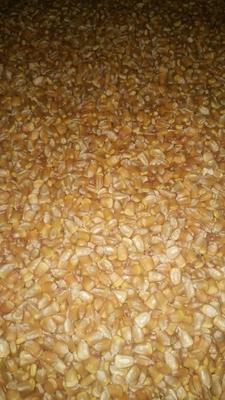 云南省曲靖市宣威市玉米干粮 杂质很少 水份<14%