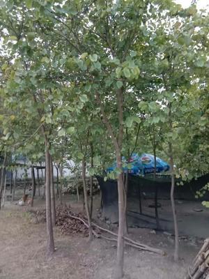 广东省清远市英德市宫粉紫荆树
