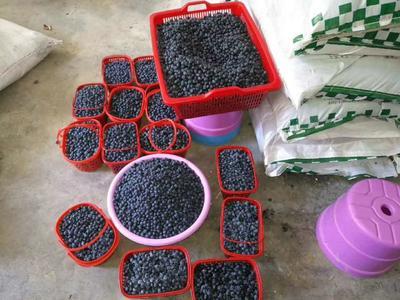 湖北省十堰市房县奥尼尔蓝莓 12 - 14mm以上 鲜果