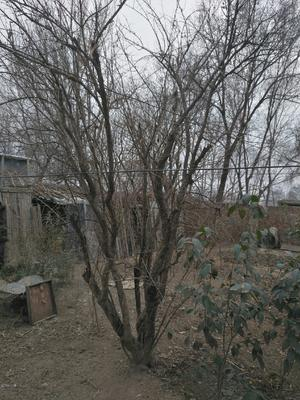 山东省聊城市东昌府区爬山虎 5~6公分 3米以上