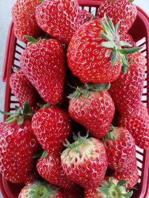 四川省成都市金堂县巧克力味草莓 20克以上