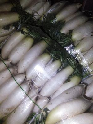 贵州省遵义市遵义县白萝卜 3.5~4斤