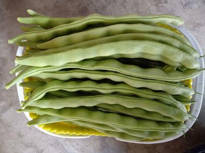 四川省攀枝花市仁和区白花四季豆 15cm以上