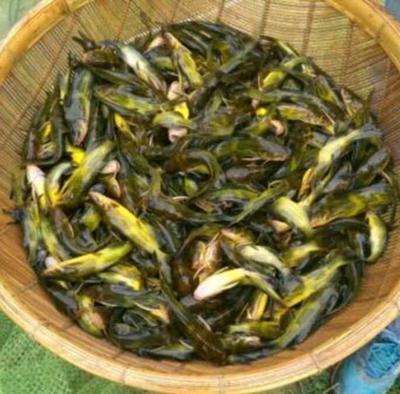 云南省曲靖市会泽县池塘黄颡鱼 人工殖养 0.05公斤
