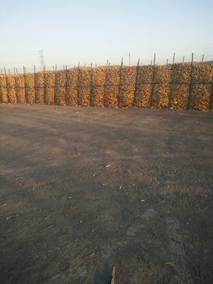 吉林省长春市农安县玉米干粮 杂质很少 水份14%-16%