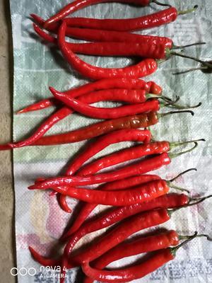 云南省西双版纳傣族自治州景洪市二荆条辣椒 15~20cm 特辣 红色