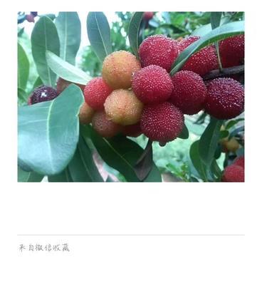 云南省红河哈尼族彝族自治州石屏县石屏杨梅 3 - 4cm