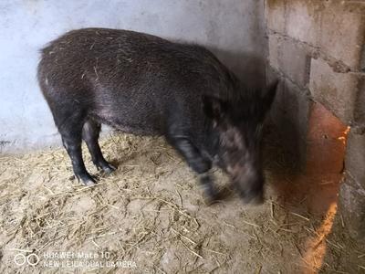 广西壮族自治区桂林市灵川县特种野猪 统货 100斤以上
