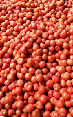 山东省临沂市费县硬粉番茄 通货 弧三以上 硬粉