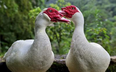 这是一张关于番鸭 2斤以下 统货 全散养 的产品图片